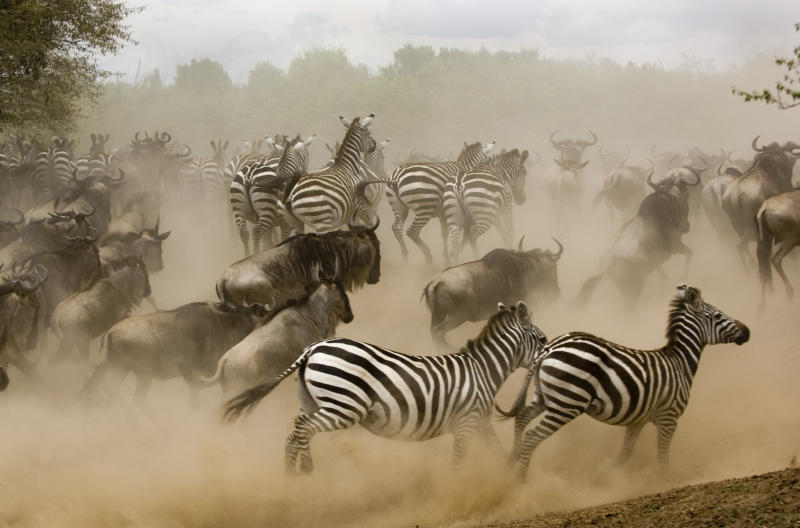 Zebras and wildebeest running from predator, side view