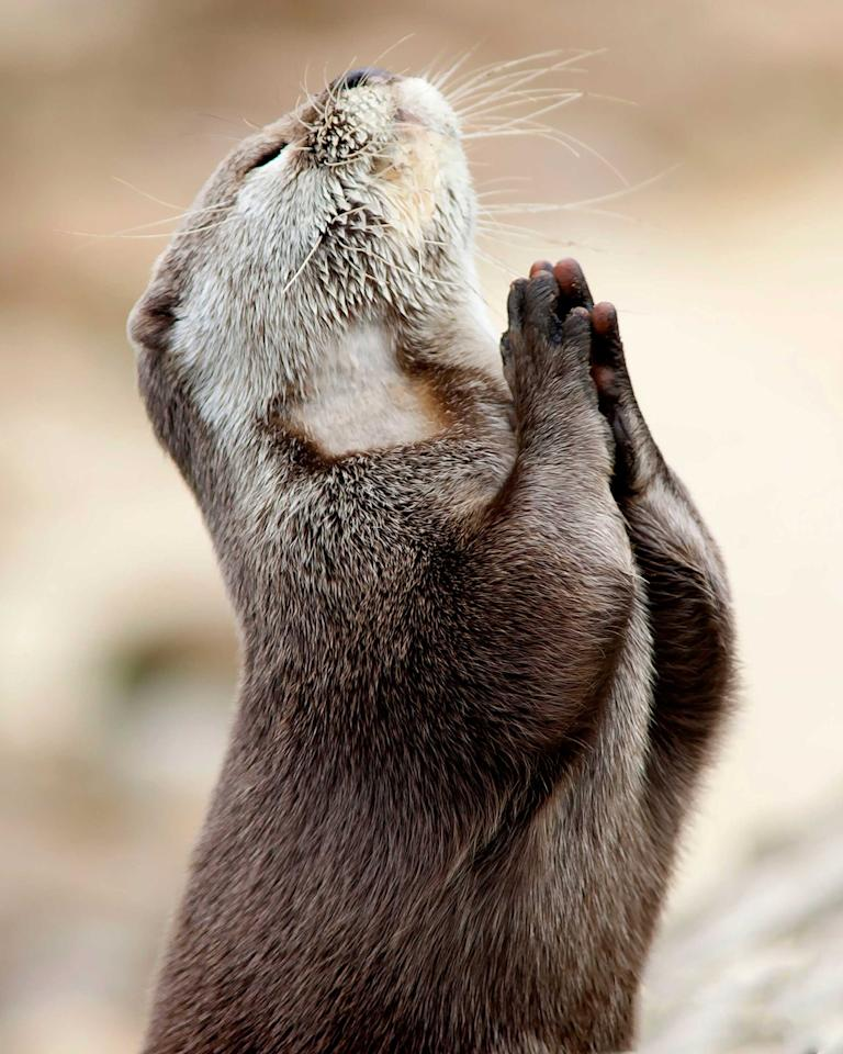 This is the incredible photo of an otter seeking guidance by praying. This once in a lifetime snap was taken by Hertfordshire based photographer Marac Andrev Kolodzinski. Marac had to wait over two hours in the freezing cold before he captured the moment (Caters)