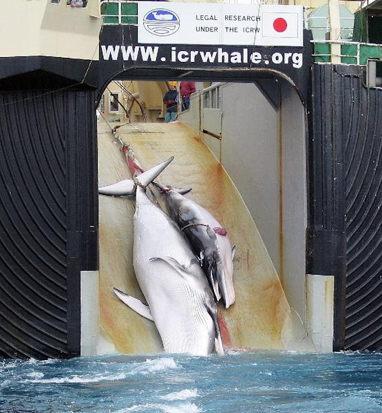 A mother whale and her calf can be seen being dragged on board a Japanese ship after being harpooned in Antarctic waters in this 2008 photo taken from an Australian customs vessel (AFP Photo/)