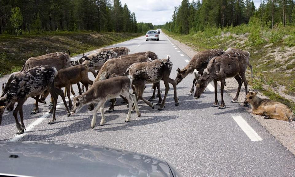 Reindeer viaducts in Sweden will keep herds safe from traffic as roam in search of grazing.