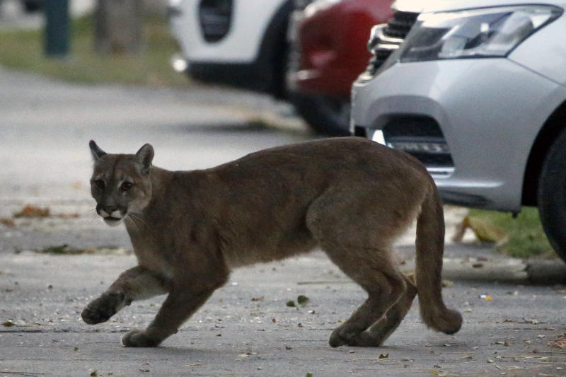 TOPSHOT - Picture released by Aton Chile showing an approximately one-year-old puma in the streets of Santiago on March 24, 2020 which according to the Agricultural and Livestock Service (SAG) came down from the nearby mountains in search for food as less people are seen in the streets due to the coronavirus, COVID-19, pandemic. (Photo by Andres PINA / ATON CHILE / AFP) / Chile OUT / RESTRICTED TO EDITORIAL USE (Photo by ANDRES PINA/ATON CHILE/AFP via Getty Images)