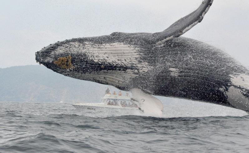 Swimming with humpback whales trial in WA