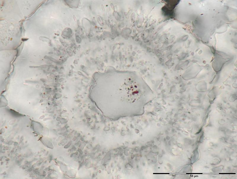 Iron-carbonate (white) rosette with concentric layers of quartz inclusions (grey) and a core of a single quartz crystal with tiny (nanoscopic) inclusions of red hematite from the Nuvvuagittuq Supracrustal Belt are seen in Québec, Canada