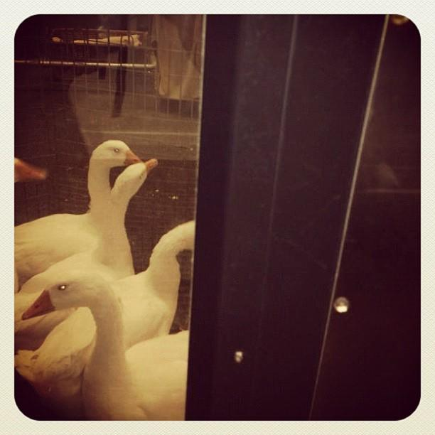 Oh, no! @mrogersyahoo can't get to his #openingceremony seats b/c the gangway is blocked by geese!
