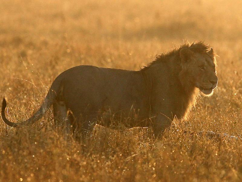 Local residents say the lion has killed over 30 dogs and livestock in the area (file image): Dan Kitwood/Getty Images