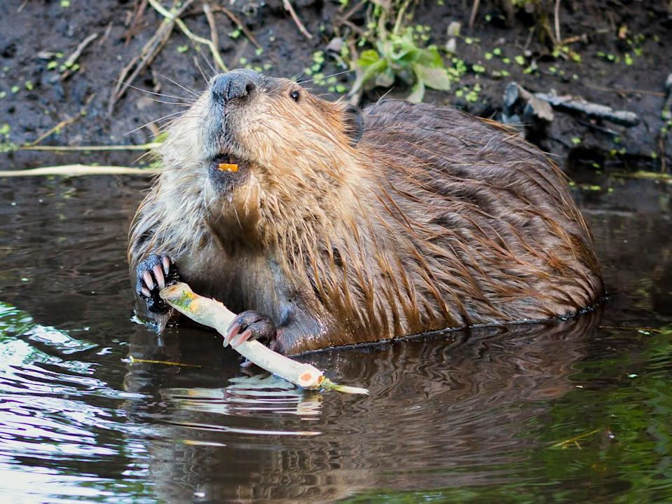 Beavers have been reintroduced to Somerset from Scotland (Getty Images/iStockphoto)