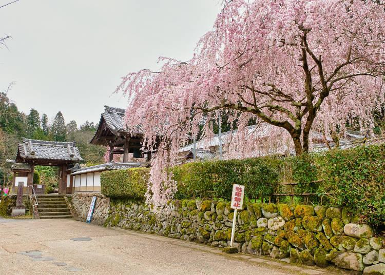 Early- and late-blooming trees blossom in sequence, so you can enjoy an extended viewing period