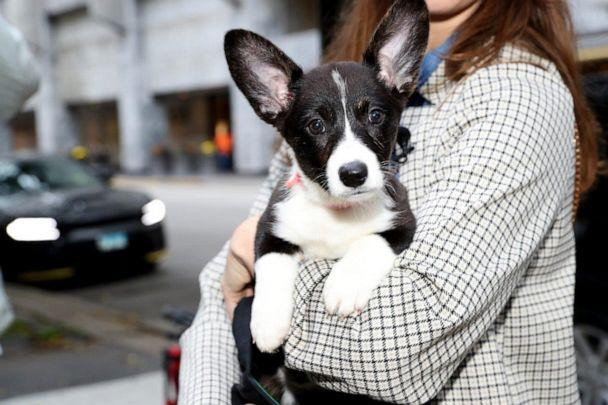 PHOTO: Johnny named his black-and-white corgi puppy 'Twinkie.' (Courtesy Jan Terry, Lurie Children's Hospital)