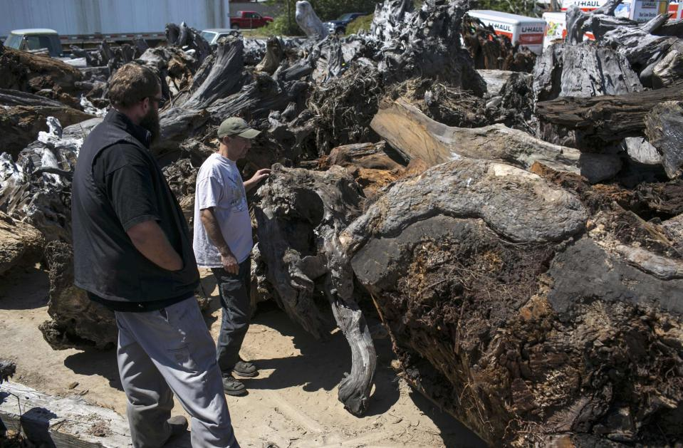 Tim Duncan looks at a piece of burl that Redwood Burl Inc. owner Landon Buck (L) procured from a private landowner, in Arcata, California June 13, 2014. The three pieces weighed around 34,000 pounds (15,422 kilograms). Picture taken June 13, 2014. REUTERS/Nick Adams (UNITED STATES - Tags: ENVIRONMENT BUSINESS)