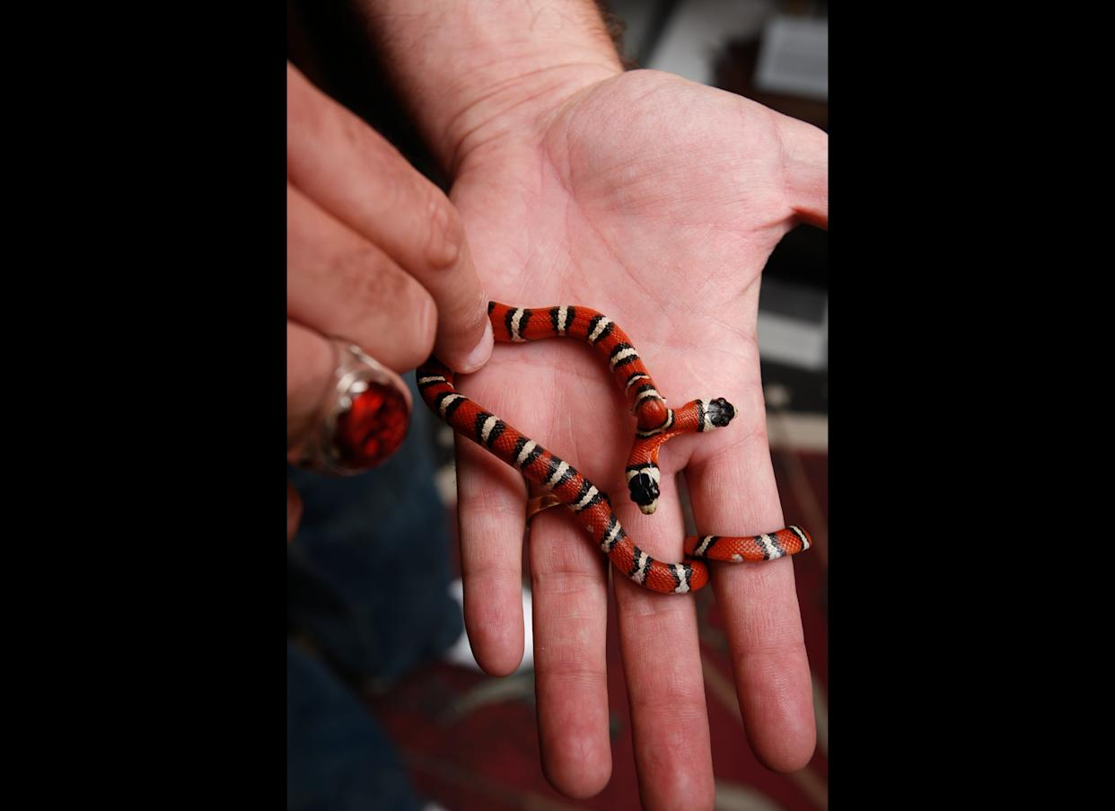 What's a party for a two-headed dragon without other two-headed party guests like Laverne and Shirley, a two-headed king snake born in Italy. Ray says when he feeds one a mouse he has to put a playing card between them because otherwise they'd start eating each other.
