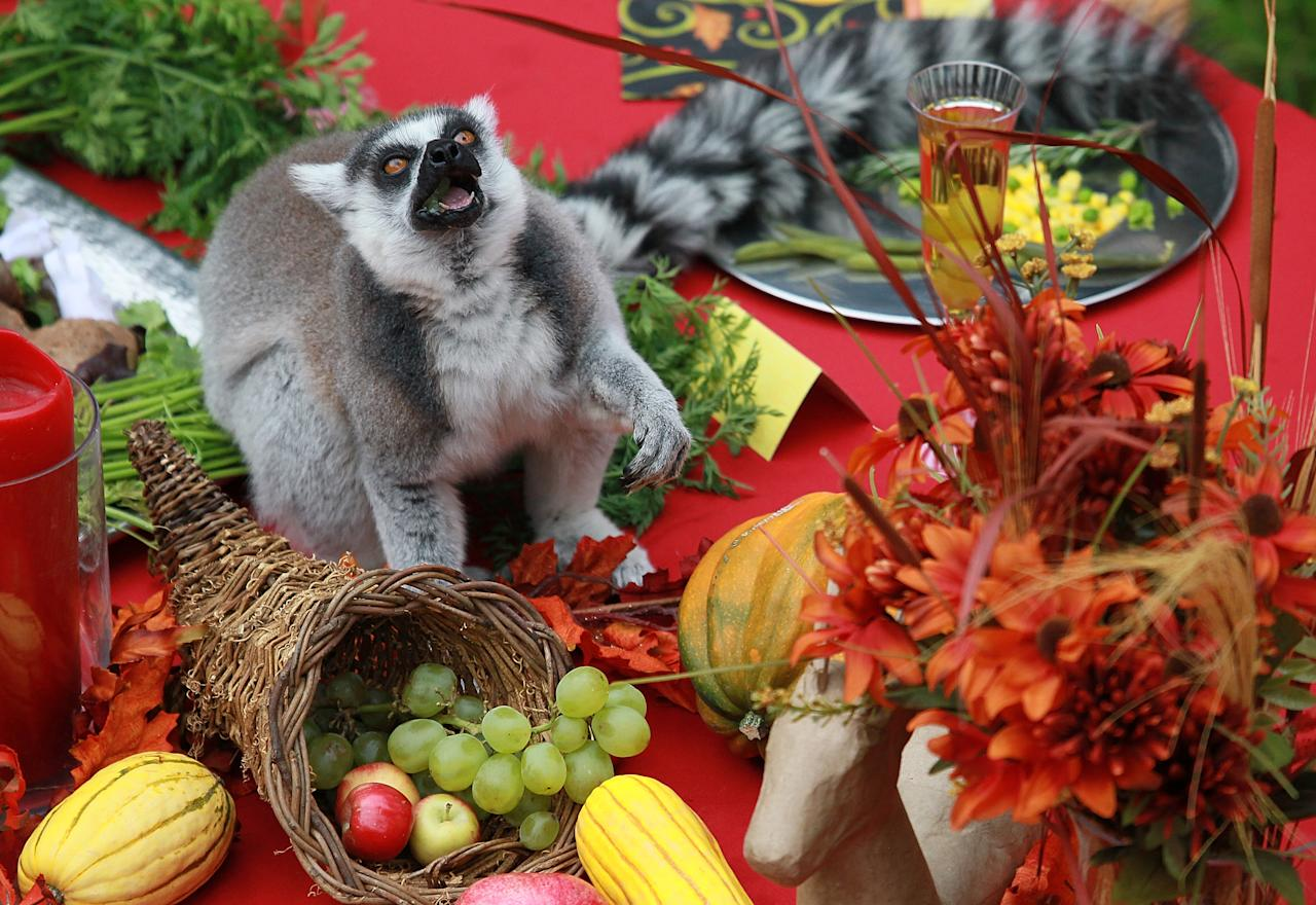 SAN FRANCISCO, CA - NOVEMBER 23:  A Ring Tailed Lemur eats fruit from a Thanksgiving spread at the San Francisco Zoo on November 23, 2011 in San Francisco, California. Fifteen lemurs at the San Francisco Zoo were treated to a Thanksgiving feast of green beans, a fruit salad made up of apples, bananas, grapes sweet potatoes and a turkey made out of monkey chow.  (Photo by Justin Sullivan/Getty Images)