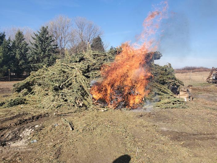 About 13% of Iowa's hemp fields were partially or fully destroyed because the THC levels exceeded state and federal limits. This was about 15% of one farmer's crop.