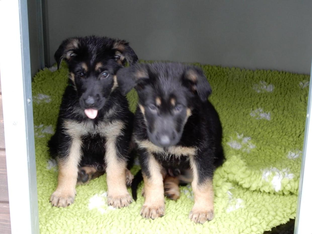 Some of the puppies named in honour of Sgt Mata Ratana