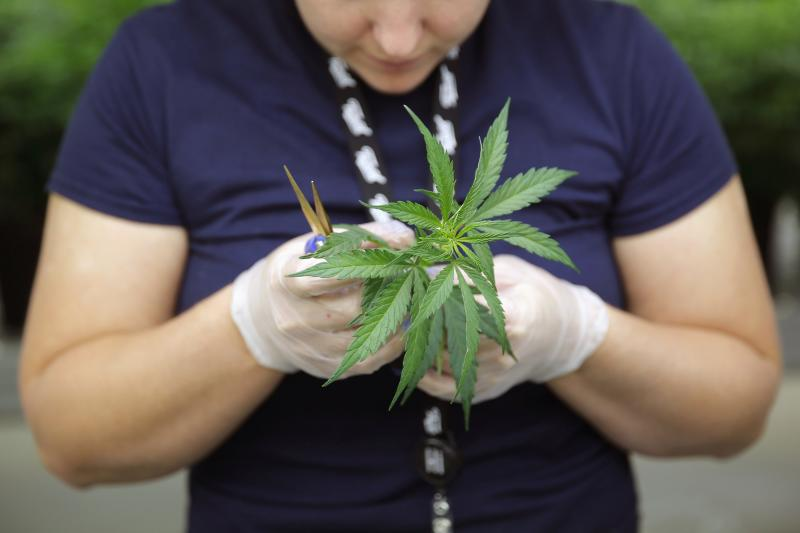 Section Grower Blenk inspects a marijuana plant clone before planting it at Tweed Marijuana Inc in Smith's Falls
