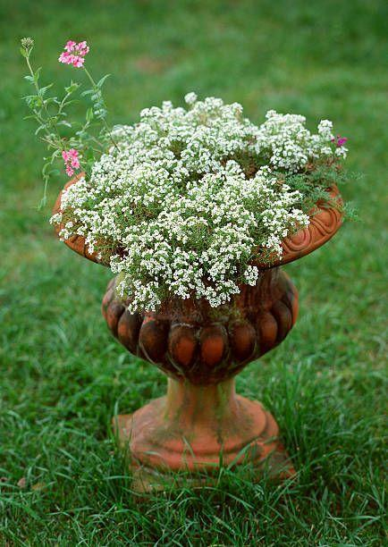 "<p>This sturdy annual looks amazing cascading out of planters or window boxes. Place pots near seating areas so you can enjoy its honey-sweet scent. It prefers full sun but will take a little shade.</p><p><a class=""link rapid-noclick-resp"" href=""https://www.provenwinners.com/plants/lobularia/dark-knight-sweet-alyssum-lobularia-hybrid"" rel=""nofollow noopener"" target=""_blank"" data-ylk=""slk:SHOP SWEET ALYSSUM"">SHOP SWEET ALYSSUM</a></p>"