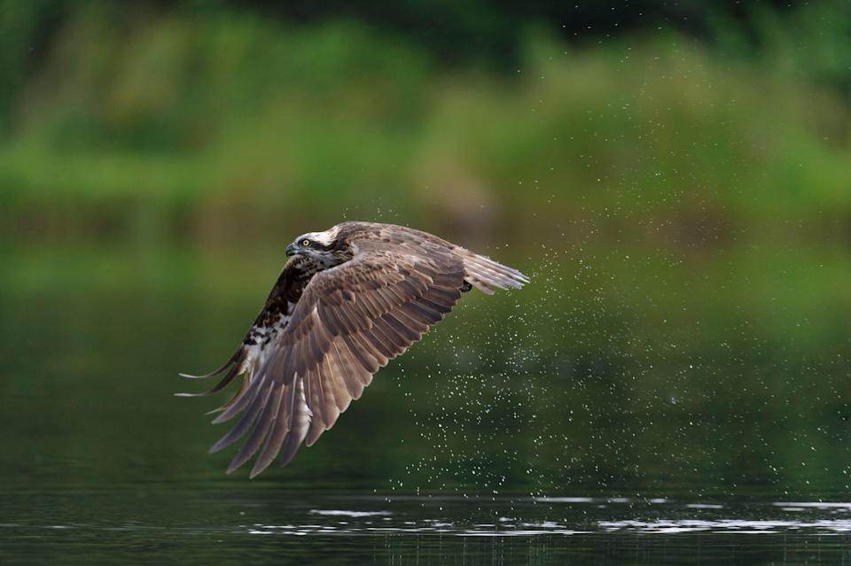 An osprey flying over the water. (Andrew Mason/An osprey chick at Rutland Water, the 200th bird to hatch since a programme to reintroduce the birds to England was set up in 1996. (Abi Mustard/Leicestershire and Rutland Wildlife Trust)