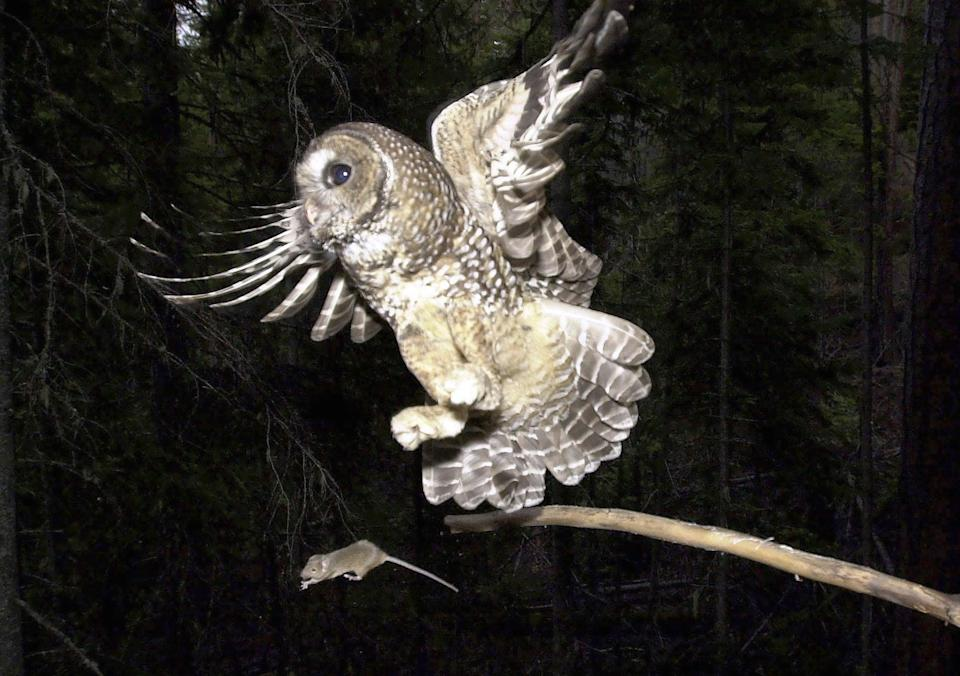The Biden adminstration proposals about the northern spotted owls have divided environmentalists and the timber industry (AP)