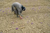 The saffron fields in this region were once completely covered in lush purple during the harvesting season
