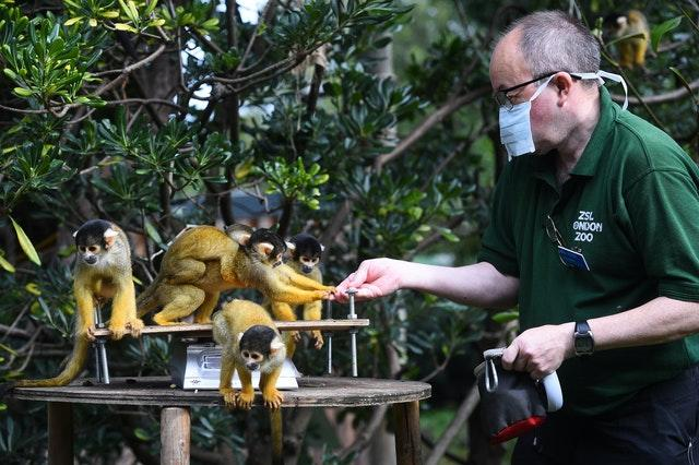 Senior keeper Tony Cholerton weighs squirrel monkeys, during the annual weigh-in at ZSL London Zoo