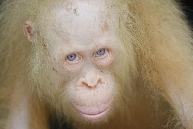 <p>Alba the albino organgutan from Borneo. (Photo: Caters News) </p>