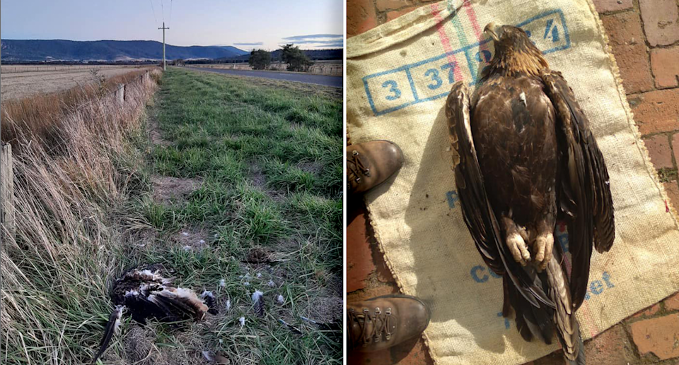 The dead eagle found on the side of the road at Fingal is just one of many rescuers attend to each year. Source: Raptor Rescue