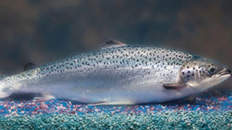 FDA Approves Genetically-Modified Salmon