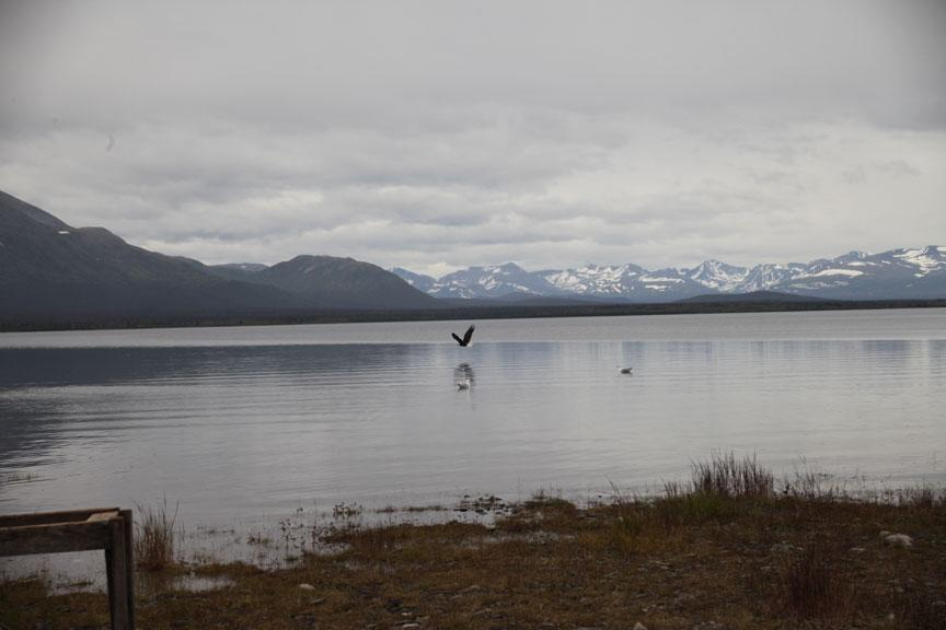 Bald eagle sightings are a regular occurrence along the shores of Alaska's Lake Iliamna.