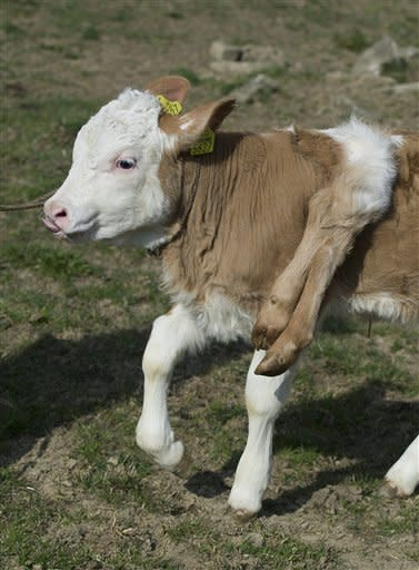 """Six-legged calf """"Lilli"""" stands on the pasture of its owner Andreas Knutti, in Weissenburg, Switzerland, Thursday, March 29, 2012. The calf was born seven weeks ago with two additional legs on its back. (AP Photo/Keystone/Peter Schneider)"""