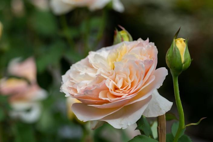 Million-dollar scent: These flowers cost more than a house