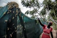 Locust swarms across East Africa following an unusually rainy season at the end of 2019 destroyed crops, trees and pastures, threatening food security