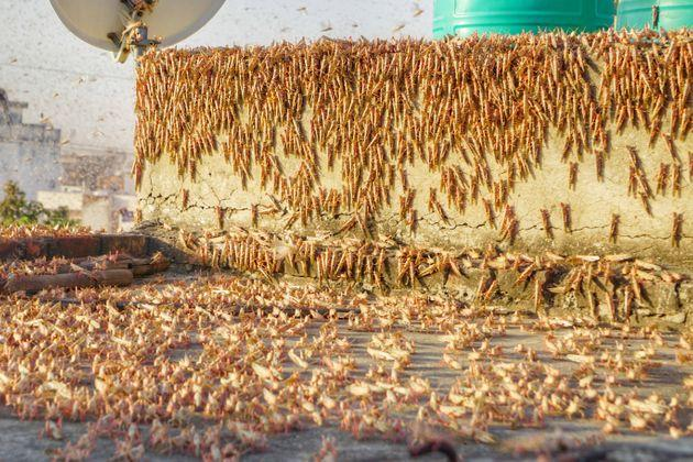 Swarms of locust attack in the residential areas of Jaipur on May 25, 2020.