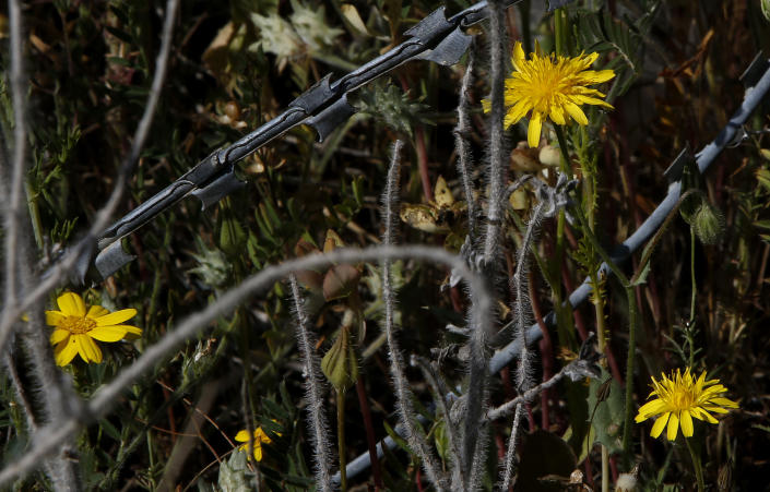 Wild flowers are seen through barbed-wires inside the U.N controlled buffer zone that divide the Greek, south, and the Turkish, north, Cypriot areas since the 1974 Turkish invasion, Cyprus, on Friday, March 26, 2021. Cyprus' endangered Mouflon sheep is one of many rare plant and animal species that have flourished a inside U.N. buffer zone that cuts across the ethnically cleaved Mediterranean island nation. Devoid of humans since a 1974 war that spawned the country's division, this no-man's land has become an unofficial wildlife reserve. (AP Photo/Petros Karadjias)