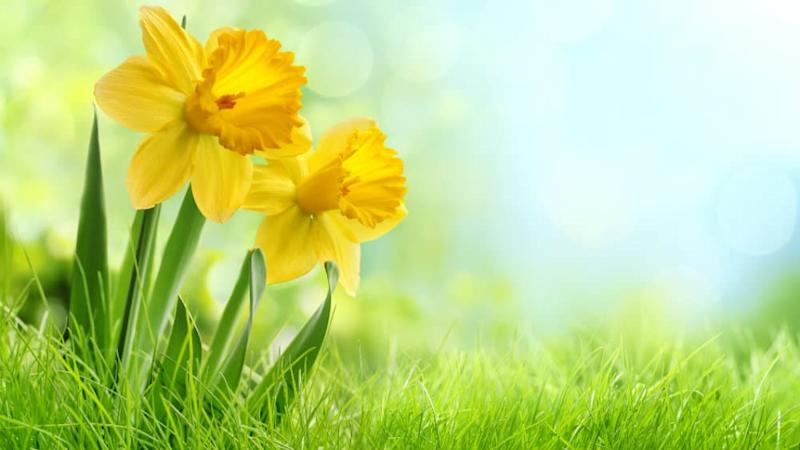 Daffodils in the grass