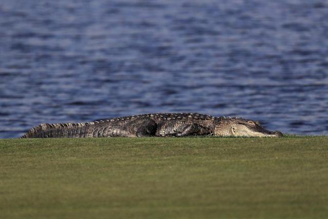 Scott Lahodik was attacked on Tuesday by an alligator while he was trying to retrieve golf balls. (Getty Images)