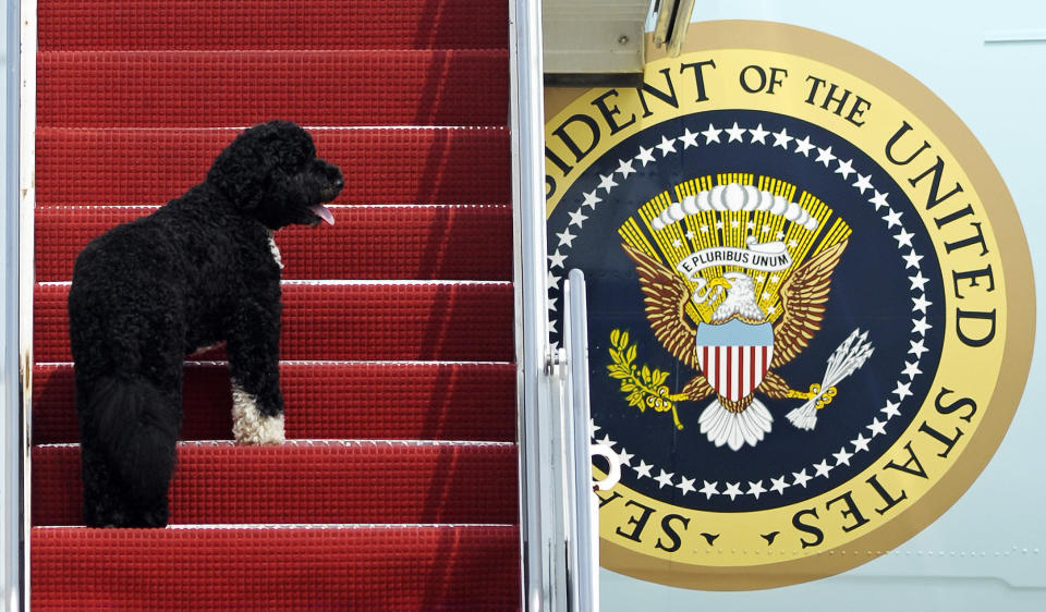 FILE - This Aug. 4, 2010 file photo shows presidential pet Bo climbing the stairs of Air Force One at Andrews Air Force Base, Md. for a flight to Chicago with President Barack Obama. Bo, died Saturday, May 8, 2021, after a battle with cancer, the Obamas said on social media. (AP Photo/Cliff Owen)