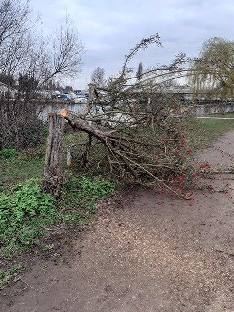 Another tree hacked in the trail of destruction.Elmbridge council