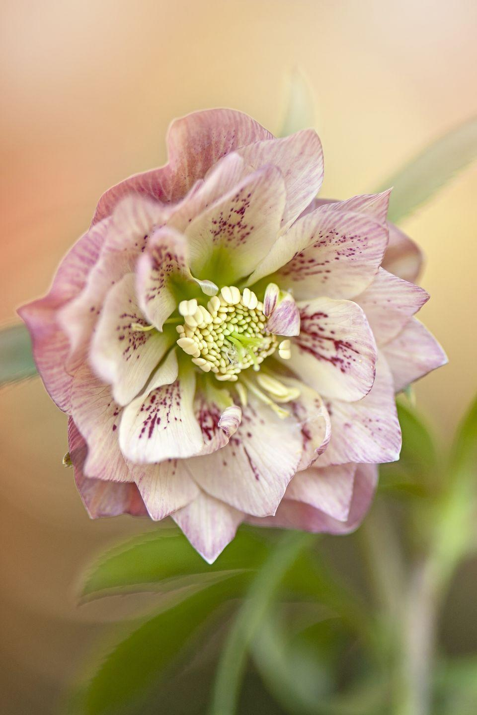 """<p>These stunning perennials, also called hellebores, appear in late winter or very early spring. Their frilly ethereal blooms appear fragile, but they're incredibly tough plants with long bloom times. Give them a few years to really show their stuff. In time, they'll spread to become a gorgeous ground cover. When deciding where to plant them, keep in mind that they need a place that's mostly shaded.</p><p><a class=""""link rapid-noclick-resp"""" href=""""https://www.bluestoneperennials.com/HEFG"""" rel=""""nofollow noopener"""" target=""""_blank"""" data-ylk=""""slk:SHOP LENTEN ROSES"""">SHOP LENTEN ROSES</a></p>"""