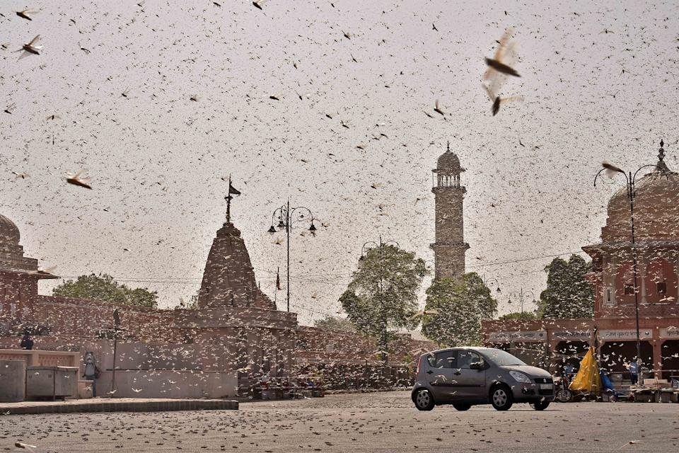 Swarms of locust attack in the walled city of Jaipur, Rajasthan, Monday, May 25, 2020. More than half of Rajasthan's 33 districts are affected by invasion by these crop-munching insects.(Photo by Vishal Bhatnagar/NurPhoto)