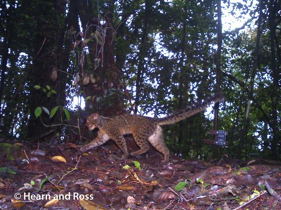 The marbled cat has a furry and long tail, which it often holds horizontally while walking, the researchers wrote in the study. The tail acts as a counterbalance when the cat is climbing trees, and is likely an adaptation for a tree-climbing li