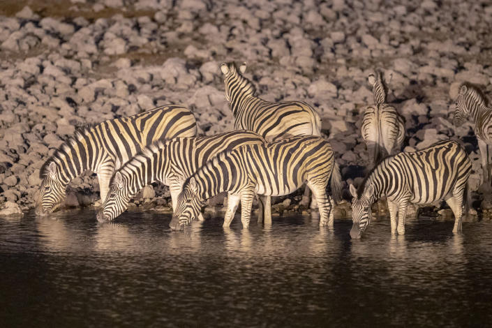 A zeal of zebras drink from the Okaukuejo water hole just before sunrise in Etosha National Park. Many rest camps have water holes protected by high fences and lit at night to view animals all day and night. (Photo: Gordon Donovan/Yahoo News)