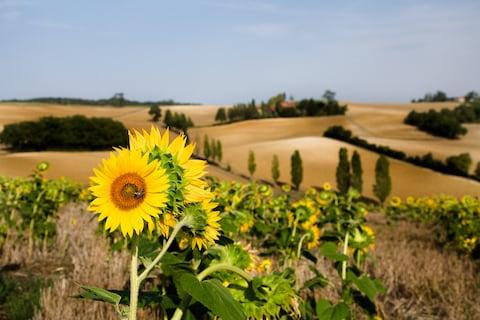Sunflowers in Gascony - Credit: GETTY