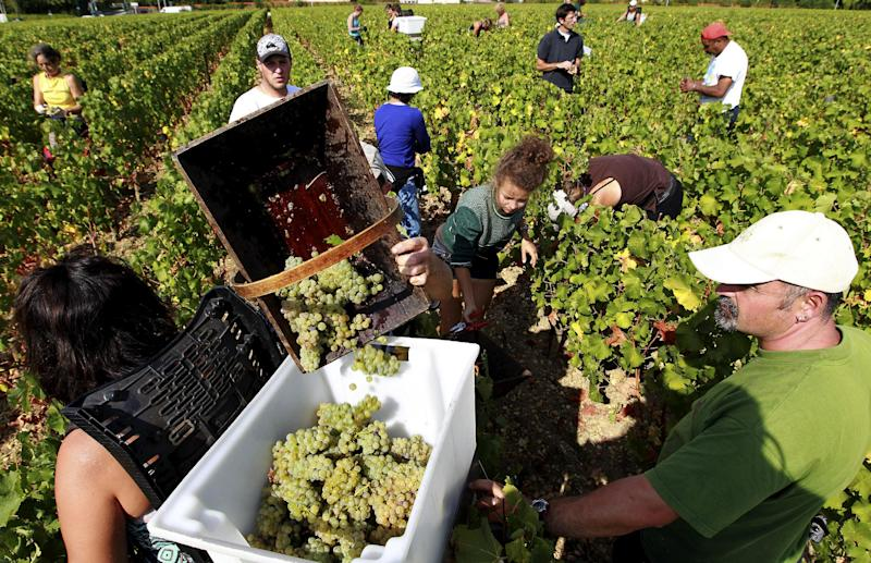 FILE - In this Tuesday, Sept. 4, 2012 file photo, workers collect white grapes in the vineyards of the famed Chateau Haut Brion, a Premier Grand Cru des Graves, during the grape harvest in Pessac-Leognan, near Bordeaux, southwestern France. Scientists using biomolecular analysis of ancient amphorae have proven that winemaking began in France as early as the fifth century BC, when local Celts picked up viticultural techniques from seafaring Etruscans from central Italy. (AP Photo/Bob Edme, File)