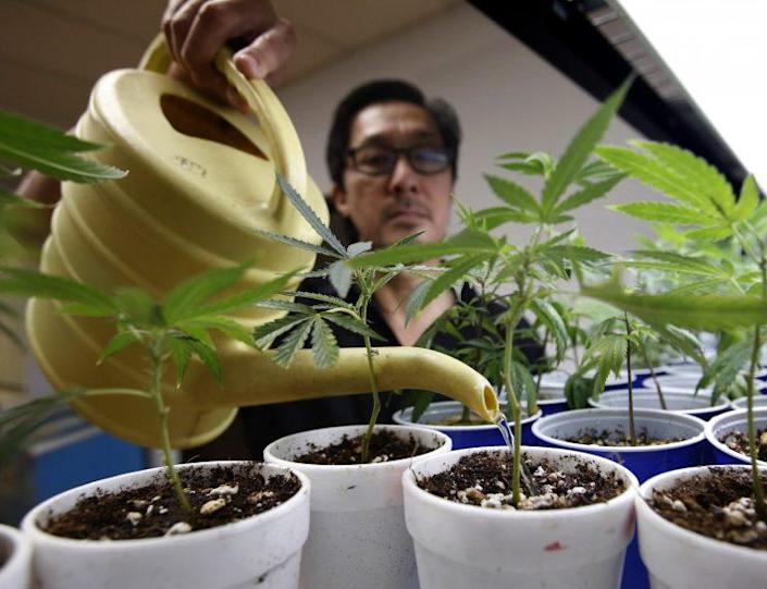 Canna Care employee John Hough waters young pot plants at the medical marijuana dispensary in Sacramento, Calif., on Aug. 19, 2015. (Rich Pedroncelli/AP)