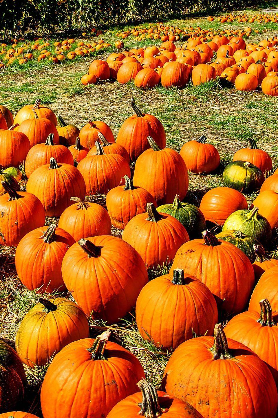 """<p>This <a href=""""https://www.valaspumpkinpatch.com/"""" rel=""""nofollow noopener"""" target=""""_blank"""" data-ylk=""""slk:family-owned pumpkin farm"""" class=""""link rapid-noclick-resp"""">family-owned pumpkin farm</a> in <a href=""""https://go.redirectingat.com?id=74968X1596630&url=https%3A%2F%2Fwww.tripadvisor.com%2FTourism-g45597-Gretna_Nebraska-Vacations.html&sref=https%3A%2F%2Fwww.countryliving.com%2Flife%2Ftravel%2Fg21273436%2Fpumpkin-farms-near-me%2F"""" rel=""""nofollow noopener"""" target=""""_blank"""" data-ylk=""""slk:Gretna, Nebraska"""" class=""""link rapid-noclick-resp"""">Gretna, Nebraska</a>, has been a popular autumnal attraction for more than 32 years. Every year, the activity list grows, but there's one thing you can count on: their large u-pick pumpkin patch. Last year, they debuted their <a href=""""https://www.countryliving.com/life/travel/g2623/apple-picking/"""" rel=""""nofollow noopener"""" target=""""_blank"""" data-ylk=""""slk:apple orchard"""" class=""""link rapid-noclick-resp"""">apple orchard</a> and cider mill, which features orchard hay rides for families and cider tastings for grownups.</p><p><a class=""""link rapid-noclick-resp"""" href=""""https://go.redirectingat.com?id=74968X1596630&url=https%3A%2F%2Fwww.tripadvisor.com%2FAttraction_Review-g45597-d1932171-Reviews-Vala_s_Pumpkin_Patch-Gretna_Nebraska.html&sref=https%3A%2F%2Fwww.countryliving.com%2Flife%2Ftravel%2Fg21273436%2Fpumpkin-farms-near-me%2F"""" rel=""""nofollow noopener"""" target=""""_blank"""" data-ylk=""""slk:PLAN YOUR TRIP"""">PLAN YOUR TRIP</a></p>"""