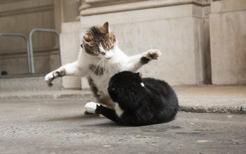 Larry and Palmerston in a brawl - Paul Grover