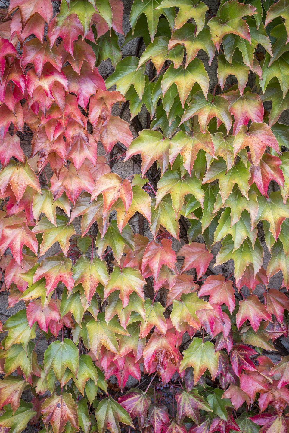 """<p>Have an ugly wall that needs covered? Virginia Creeper is a fast-growing vine with beautiful red fall color. It's also not fussy about soil types so it's a good choice for problem areas.</p><p><a class=""""link rapid-noclick-resp"""" href=""""https://www.greatgardenplants.com/collections/vines-climbers/products/red-wall-virginia-creeper?variant=37358177157287"""" rel=""""nofollow noopener"""" target=""""_blank"""" data-ylk=""""slk:SHOP VIRGINIA CREEPER PLANTS"""">SHOP VIRGINIA CREEPER PLANTS</a></p>"""