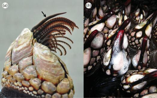 Here, the stalked barnacle (<em>P. polymerus</em>) with its penis relaxed (arrow, a) and feeding legs, and the barnacle broadcasting sperm at low tide (b).
