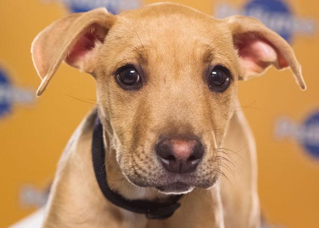 "Jenny, a 13-week-old pit bull/hound mix, is simply a ""very sweet girl."" (Photo by Keith Barraclough/DCL)"