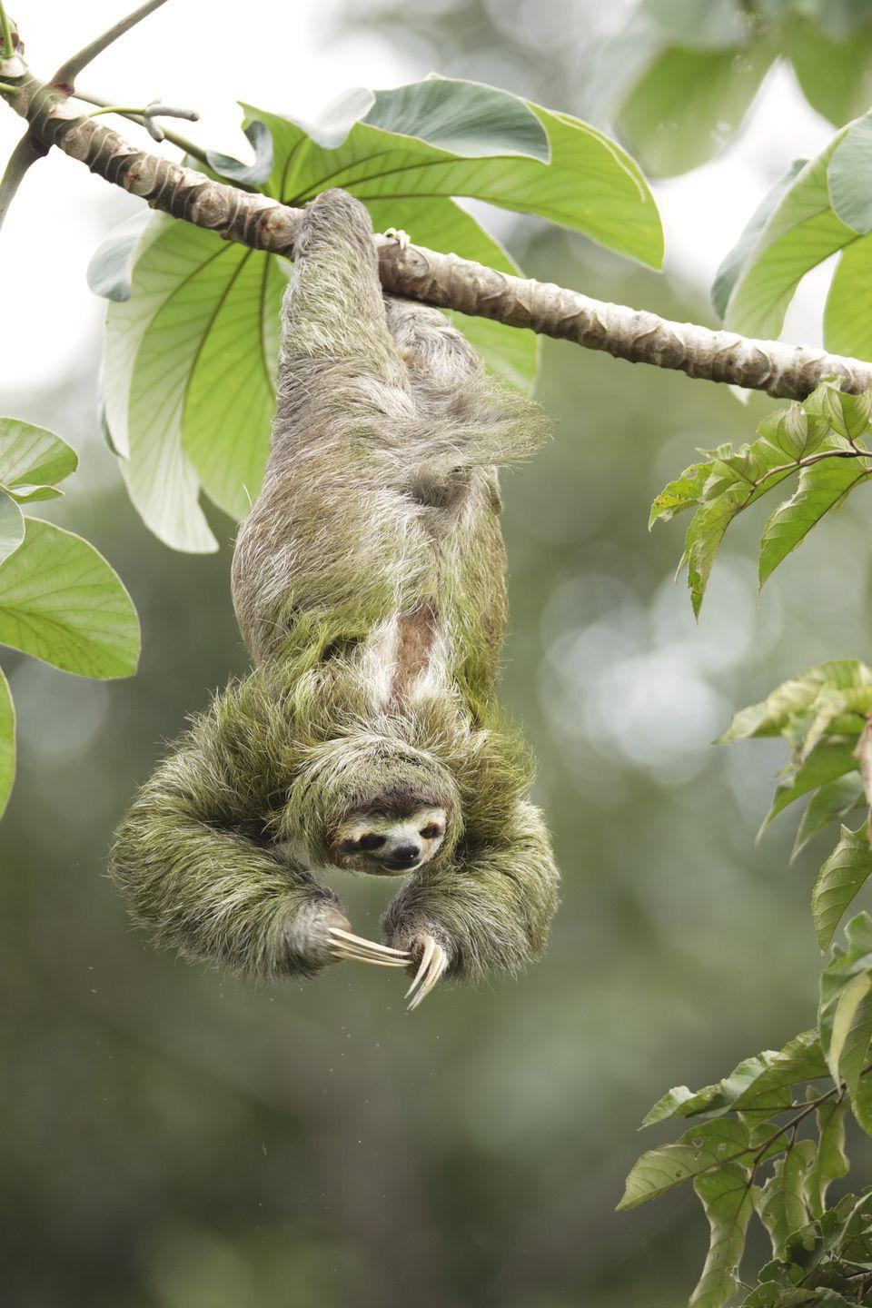 """<p>Spending the majority of their time hanging from tree branches seems like it would make it hard to breath, but according to research from Swansea University<a href=""""https://www.swansea.ac.uk/science/news/howslothscanbreatheeasilyupsidedown.php"""" rel=""""nofollow noopener"""" target=""""_blank"""" data-ylk=""""slk:, sloths have been designed that way."""" class=""""link rapid-noclick-resp"""">, sloths have been designed that way.</a> Their internal organs are attached to the inside of their rib cage, which allows these mammals to hang upside down without putting pressure on their lungs. This allows them to breathe easy, no matter what position they're in.</p>"""