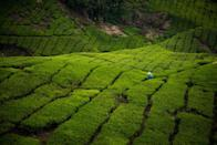 <p>Vast swathes of bright green carpet the Cameron Highlands in Malaysia for one reason alone: tea. This is the country's largest tea-growing region, and the plantations produce everything from black tea to green and Oolong teas. (Photo: Flickr / Carla Cometto)</p>